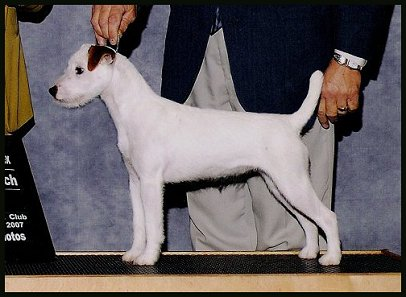 Parson-Russell-Terrier-Ch-Foxcatcher-Full-of-Pimento