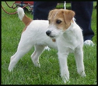 Parson-Russell-Terrier-Ch-Fremonts-Laka-Ino-of-Ohoa