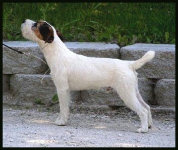 Parson-Russell-Terrier-Ch-Red-Rock-Texas-Ranger