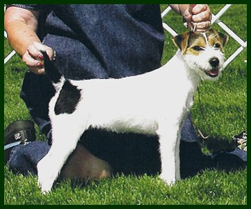 Parson Russell Terrier Ch. Whisper Wind I Hope You Dance