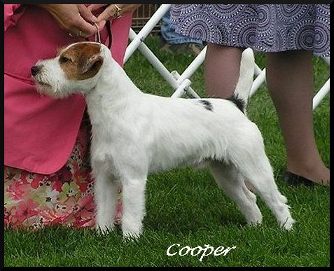 Parson-Russell-Terrier-Ch-Whisperwind-Im-A-Dignified-Jude
