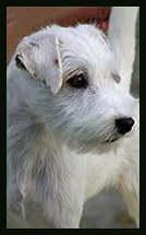 Posey Canyon Parson Russell Terrier 1