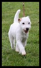 Posey Canyon Parson Russell Terrier 3