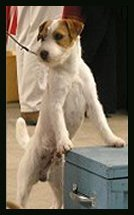 Posey Canyon Parson Russell Terrier 4