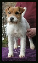 Posey Canyon Parson Russell Terrier 6