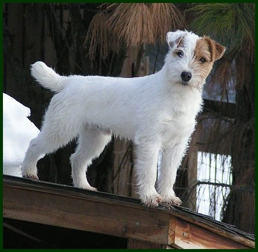 Parson Russell Terrier Got My MoJo 2