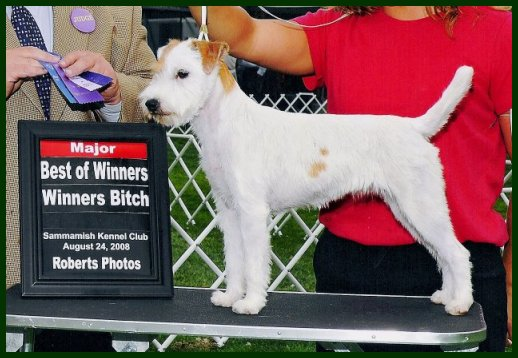 Parson Russell Terrier Posey Canyon Shagalicious 1