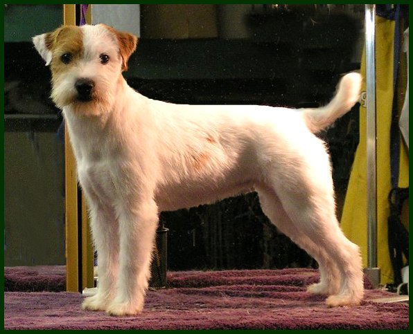 Parson Russell Terrier Posey Canyon Shagalicious 2