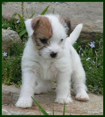 Parson Russell Terrier Posey Canyon Shagalicious 3