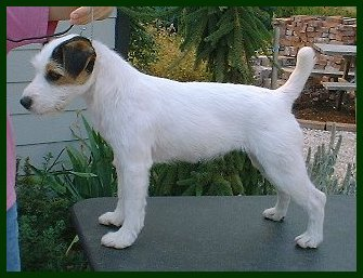 Parson Russell Terrier Snickers 1