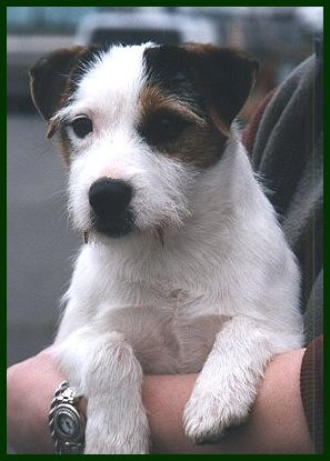 Parson Russell Terrier Snickers 2