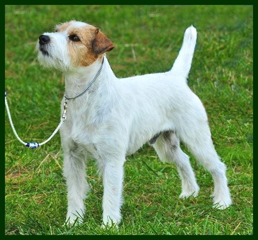 Parson Russell Terrier Posey Canyon Stuart 1